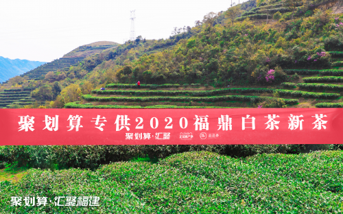 聚劃算匯聚福建攜手福鼎白茶開茶節,賞2020新春白茶
